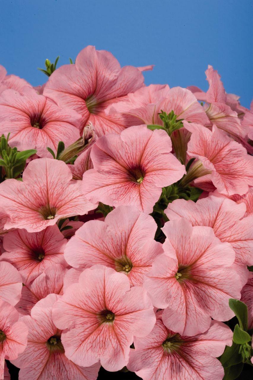 Seminte Petunia grandiflora Pacta Parade F1 Peach drajerate