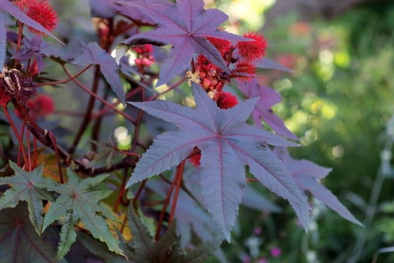Seminte Ricinus communis New Zealand Purple