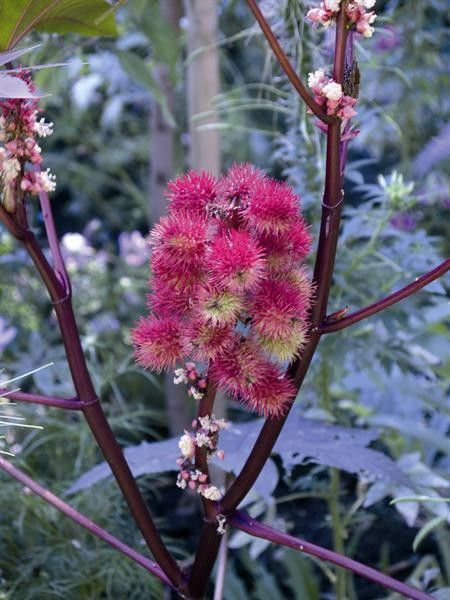 Seminte Ricinus communis Carmencita Pink