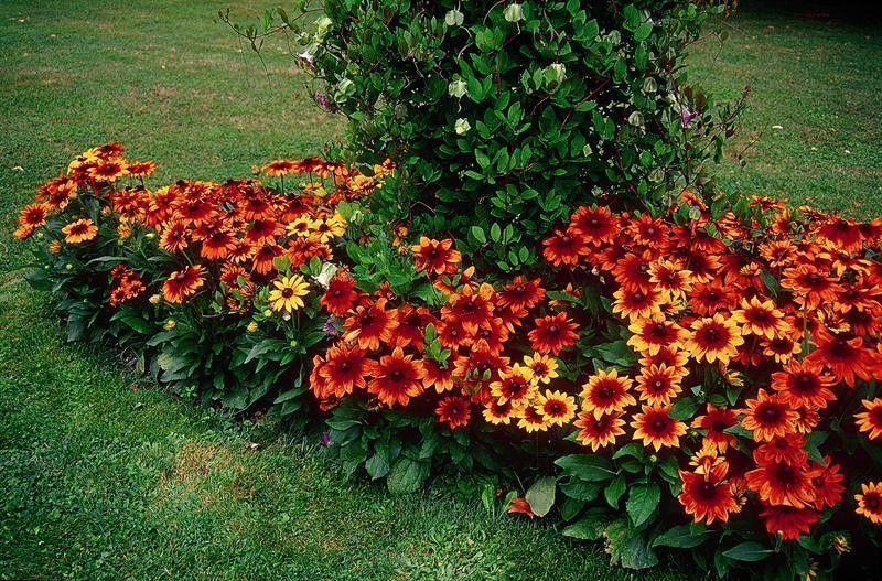 Seminte Rudbeckia hirta Autumn Colors seminte invelite