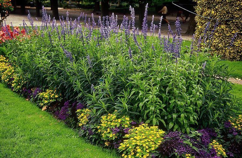 Seminte Salvia farinacea Blue Bedder
