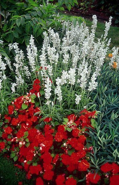 Seminte Salvia farinacea Victoria White