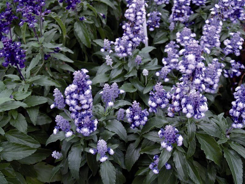 Seminte Salvia farinacea Fairy Queen