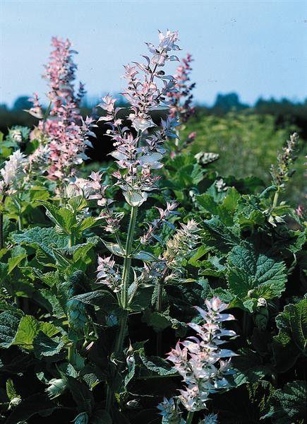 Seminte Salvia sclarea