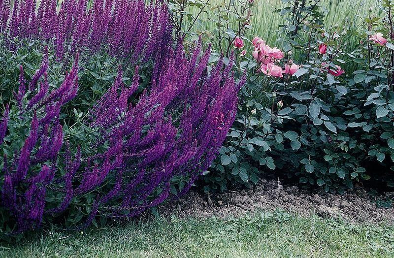 Seminte Salvia nemorosa Violet Queen
