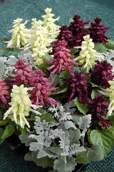 Seminte Salvia splendens Reddy Nero mix
