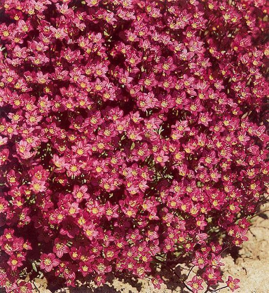 Seminte Saxifraga arendsii Carpet Purple