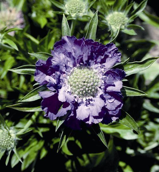 Seminte Scabiosa caucasica Perfecta Blue