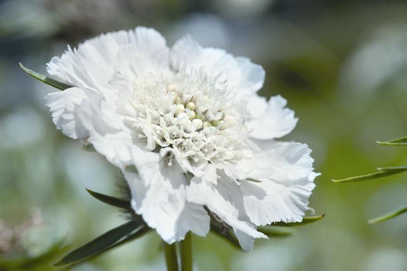 Seminte Scabiosa caucasica Fama White seminte invelite