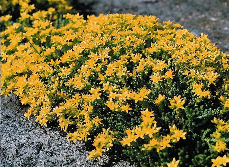 Seminte Sedum acre Yellow