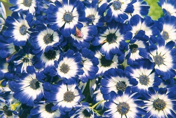 Seminte Senecio cruentus Race Moll Blue Eye