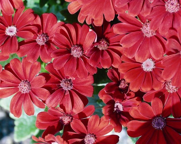 Seminte Senecio cruentus Race Moll Copper Red