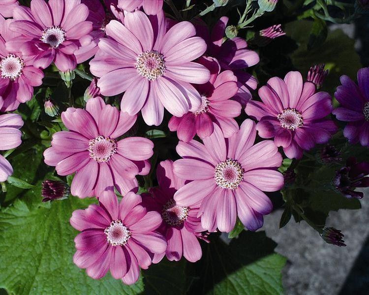 Seminte Senecio cruentus Race Moll Deep Rose