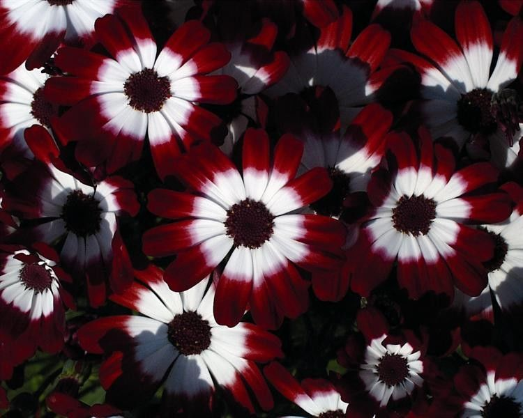 Seminte Senecio cruentus Race Moll Red Eye