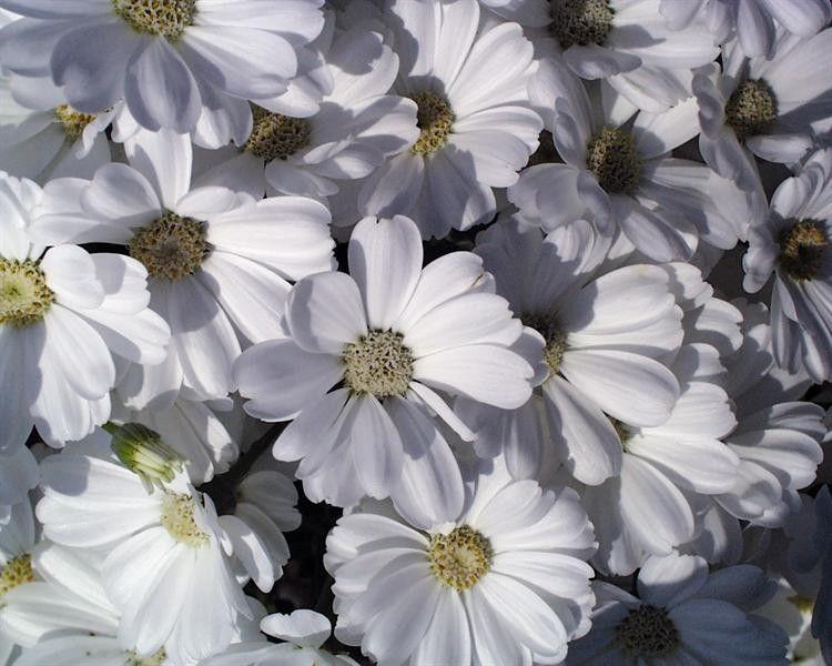 Seminte Senecio cruentus Race Moll True White