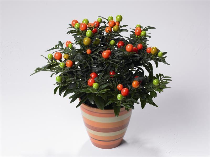 Seminte Solanum capsicastrum Tucana