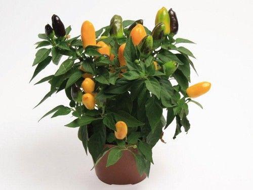 Seminte Capsicum annuum Cubana F1 Yellow