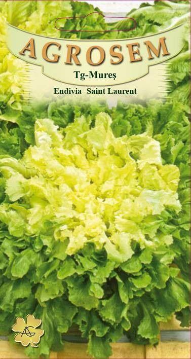 Seminte de Andive Saint Laurent - AS - Cichorium endivia var. crispum