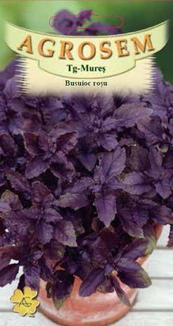 Seminte de Busuioc rosu - AS - Ocimum basilicum