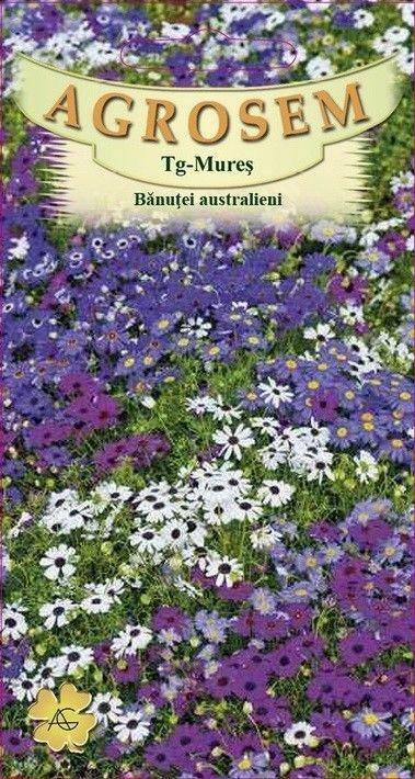 Seminte de Banutei australieni - AS - Brachycome iberidifolia