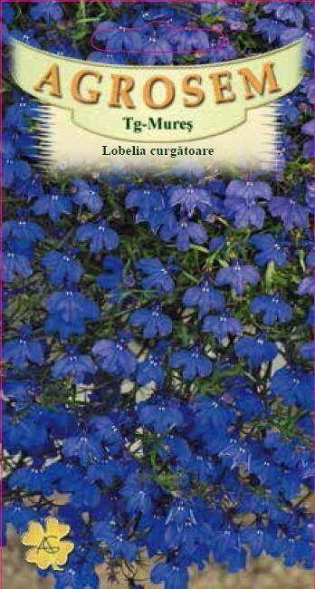 Seminte de Lobelia curgatoare - AS - Lobelia erinus pendula