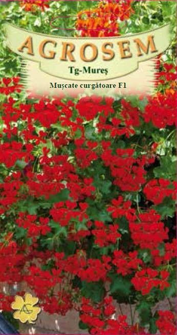 Seminte de Muscate curgatoare F1 Showers Burgundy - AS - Pelargonium peltatum