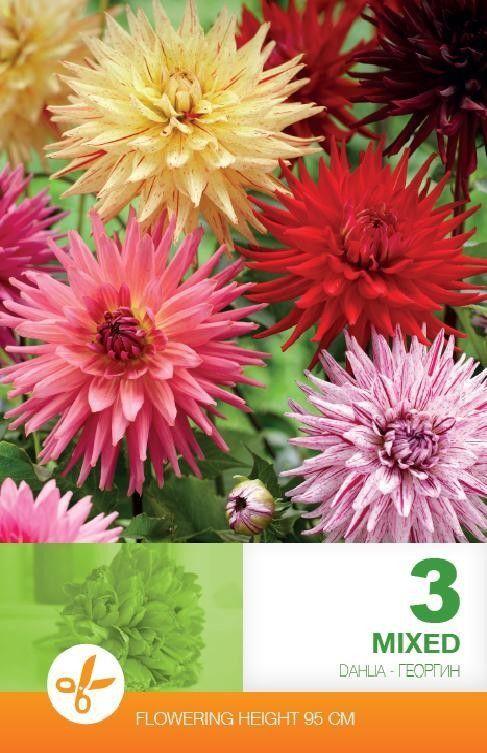 Dahlia cactus  mix - 3 bulbi