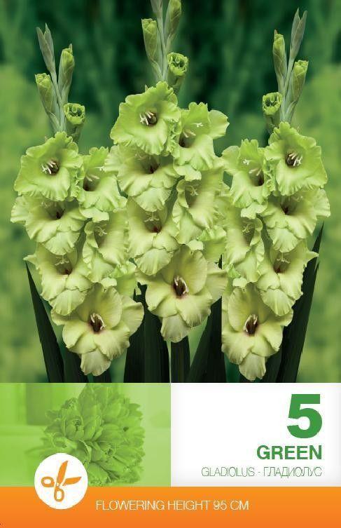 Gladiole bulbi Green - 5 bulbi