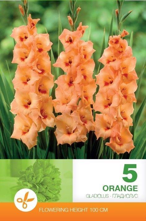 Gladiole bulbi Orange - 5 bulbi