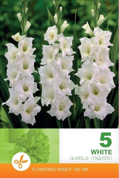 Gladiole bulbi White - 5 bulbi