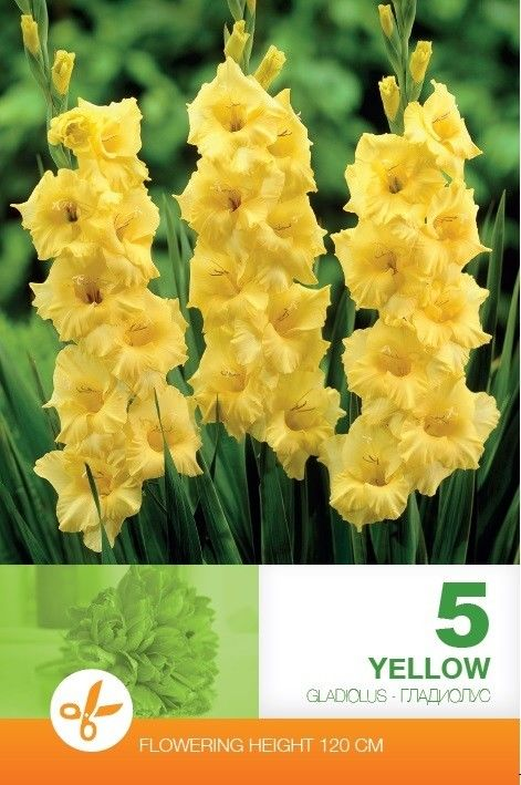 Gladiole bulbi Yellow - 5 bulbi