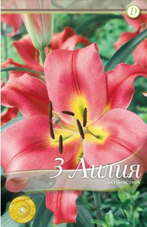Lilium oriental Satisfaction - 3 bulbi