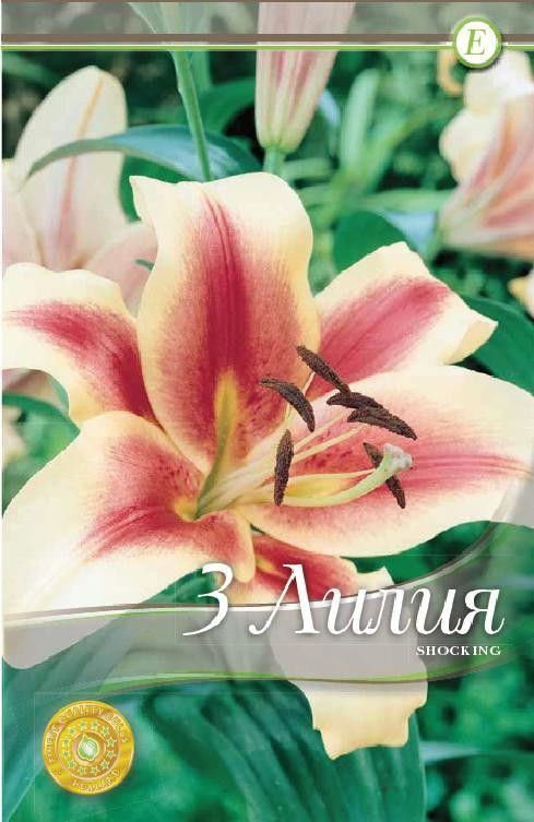 Lilium oriental Shocking - 3 bulbi