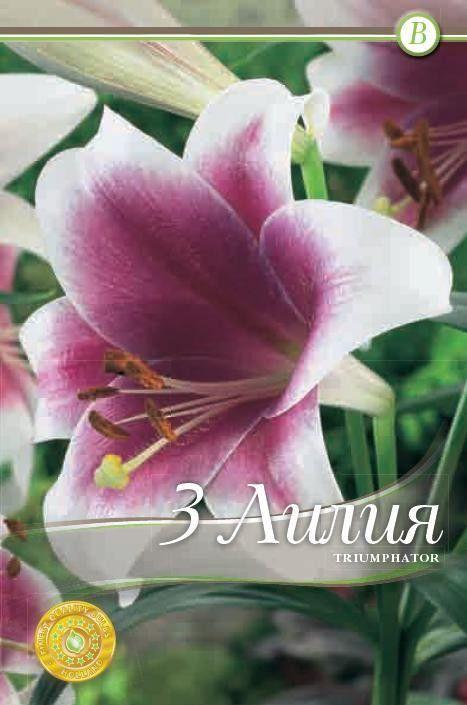 Lilium longiflorum Triumphator - 3 bulbi