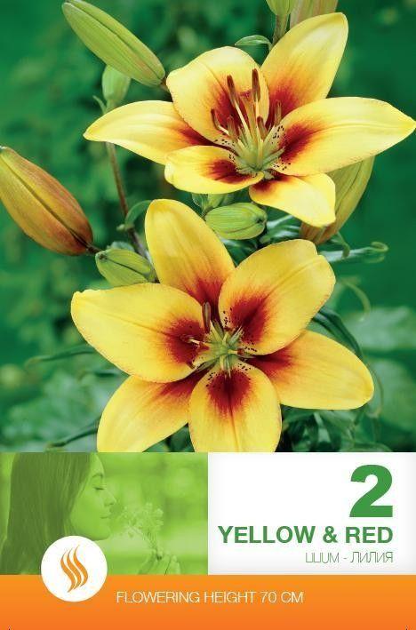 Lilium asiatic Yellow-Red - 2 bulbi