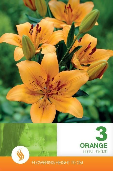 Lilium asiatic Orange - 3 bulbi