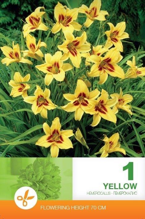 Hemerocallis bulbi - Yellow
