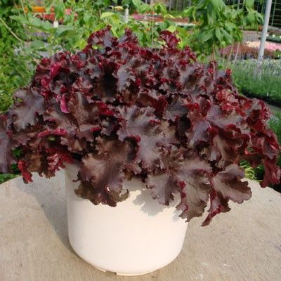 Heuchera americana Melting Fire G-9
