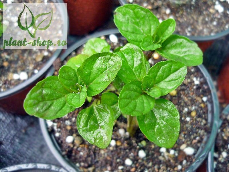 Mentha spicata Spanish Spearmint G-9