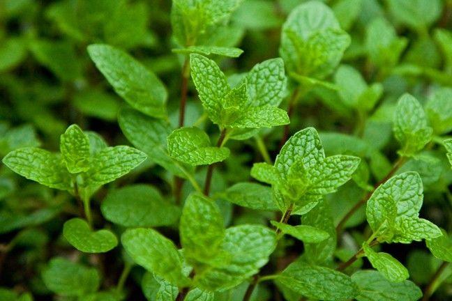 Mentha x villosa Mojito Mint G-9