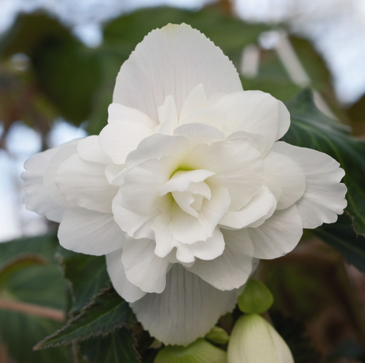 Begonia tuberhybrida Illumination F1 White G-9