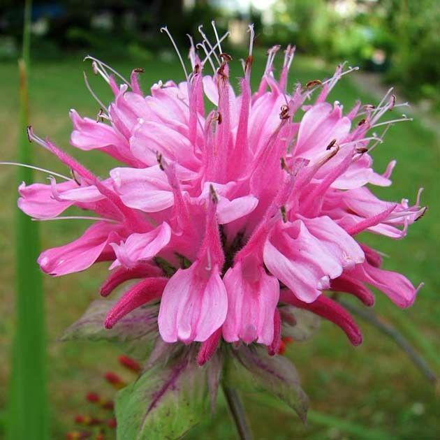 Monarda didyma Pink Lace G-9