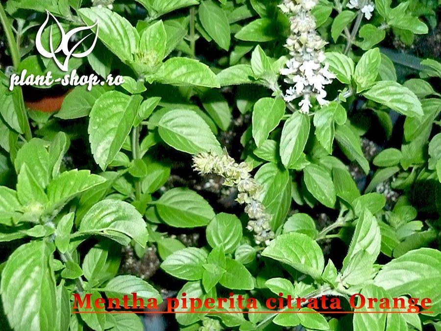 Mentha piperita citrata Orange G-9