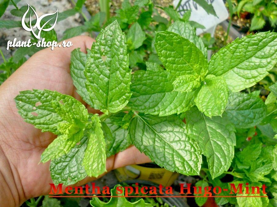 Mentha spicata Hugo G-9
