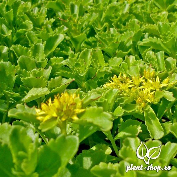 Sedum selskianum Pack 10 plante