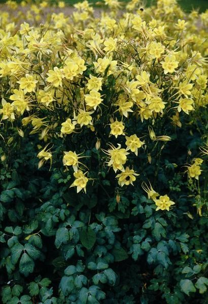 Aquilegia chrysantha Yellow Queen G-9