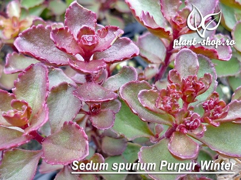 Sedum spurium Purpur Winter pachet 10 plante
