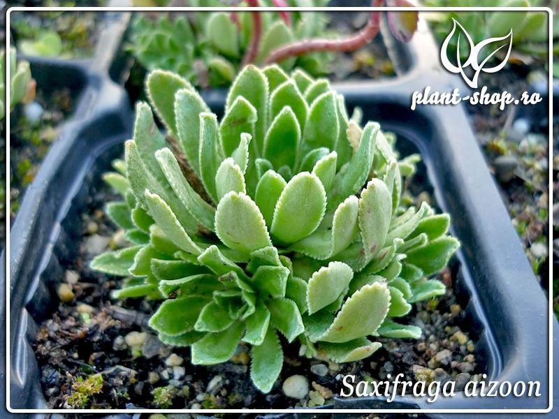 Saxifraga aizoon Pack 10 plante