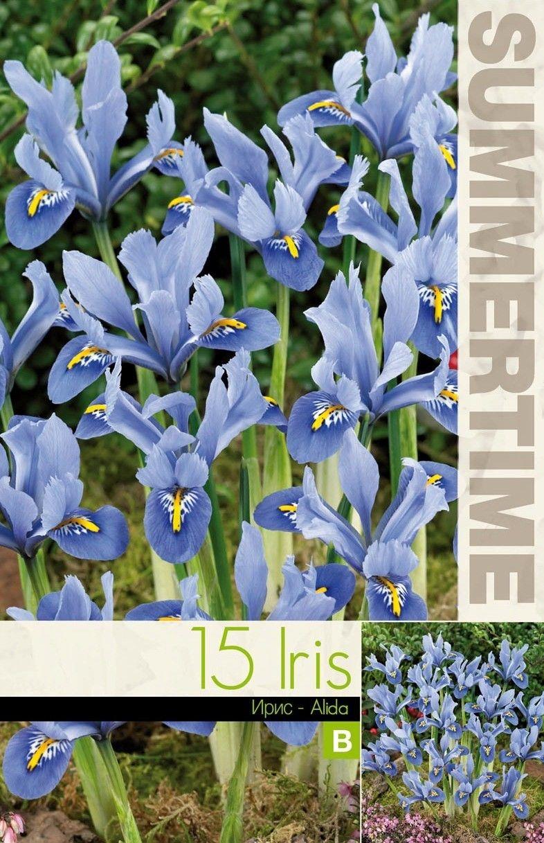 Iris reticulata Alida 15 bulbi
