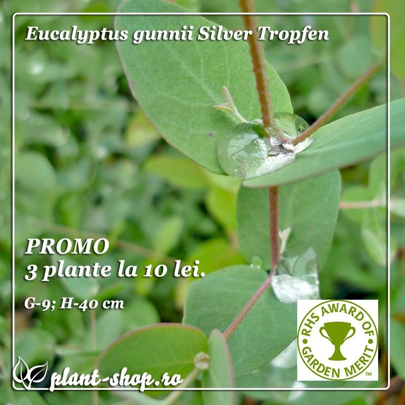 Pachet Eucalipt 3 plante